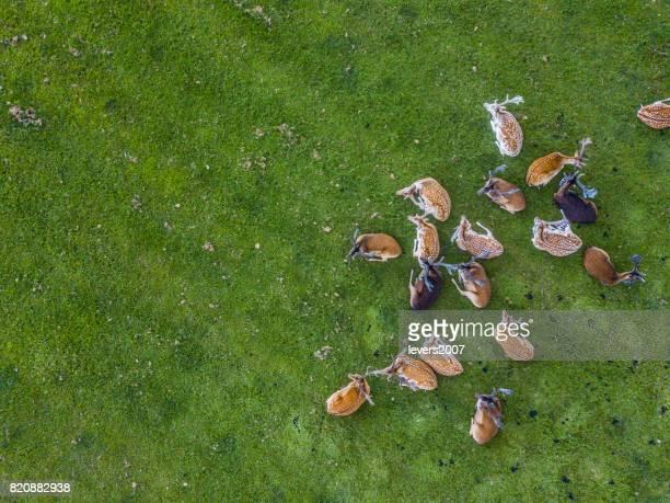 Herd of wild red deer in the Phoenix Park, Dublin, Ireland
