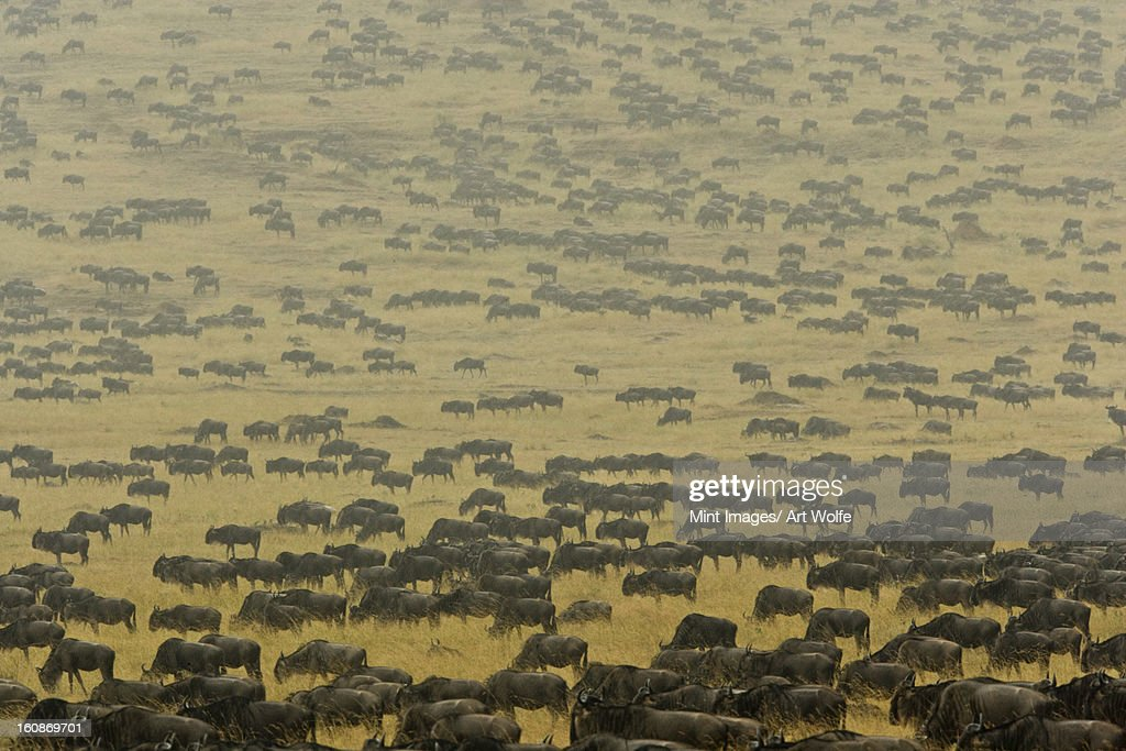 Herd of wildebeest crosses the open plains of Kenya's Mara River region. August migration. : Stock Photo