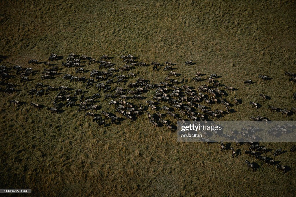Herd of wildebeest (Connochaetes taurinus) migrating, aerial view, Masai Mara, Kenya