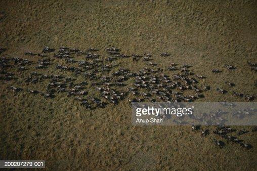 Herd of wildebeest (Connochaetes taurinus) migrating, aerial view, Masai Mara, Kenya