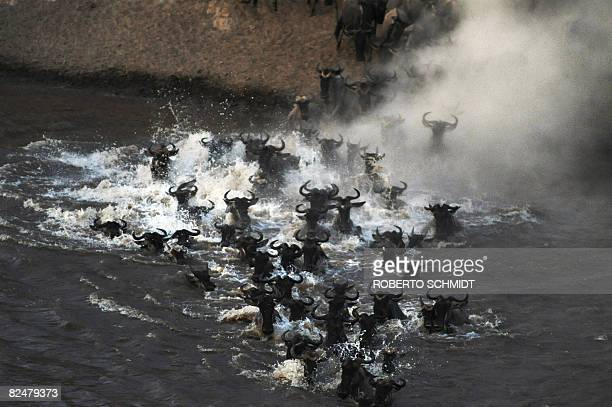 A herd of Wildebeest rush the waters of the Mara River during the annual migration through the Massai Mara National park in western Kenya on August...
