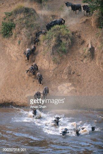 Herd of wildebeests (Connochaetes taurinus) crossing Mara River, Masai Mara, Kenya : Stock Photo