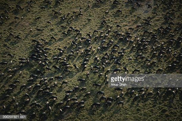 Herd of wildebeests (Connochaetes taurinus) migrating, aerial view, Masai Mara, Kenya