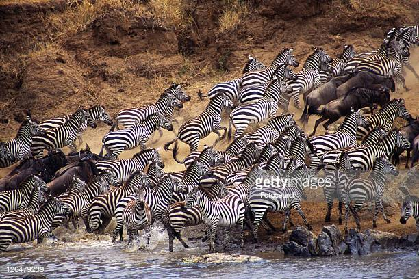 Herd of Zebras and Gnus Climbing Up the Bank, High Angle View