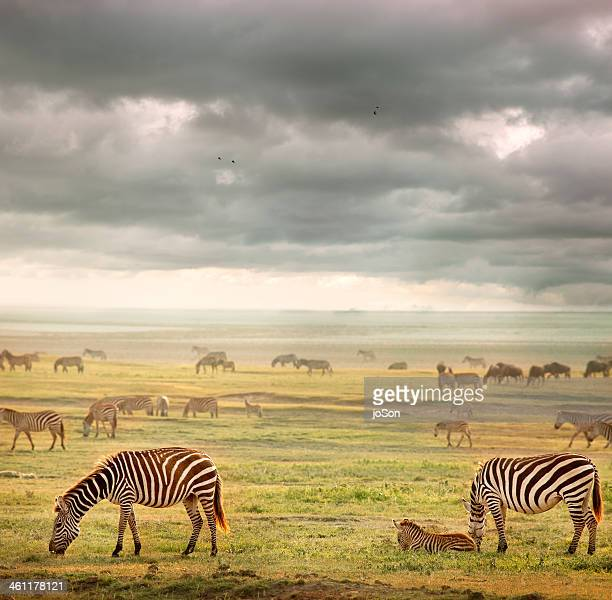 Herd of Zebras and Wildebeests grazing