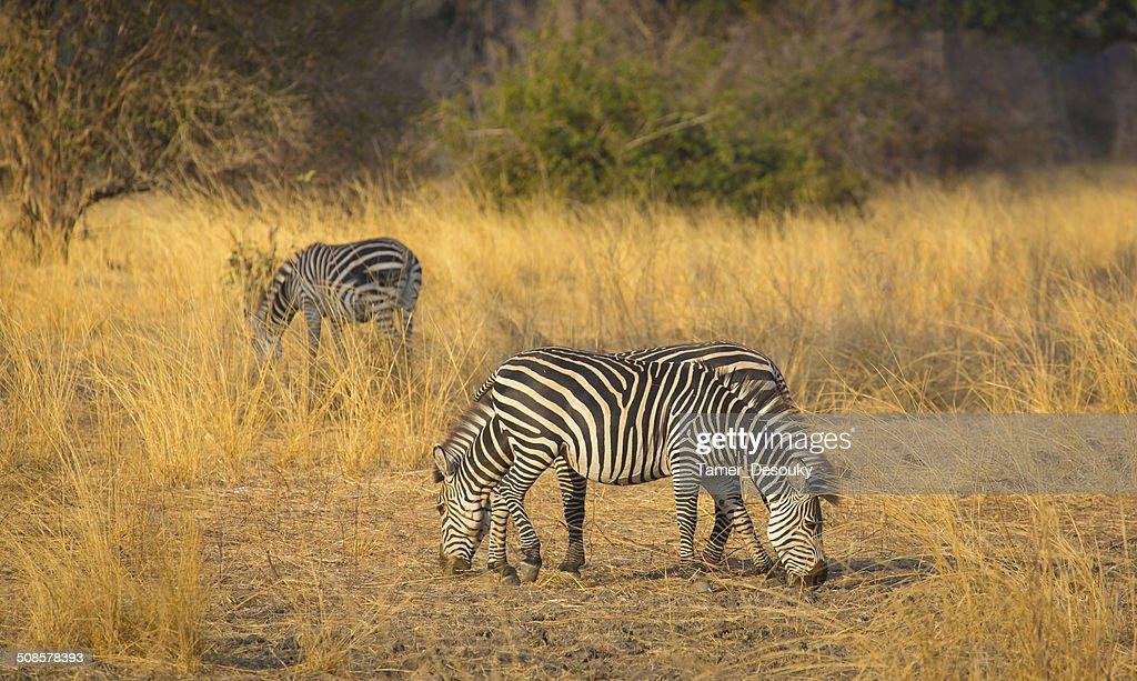 herd of zebras : Bildbanksbilder