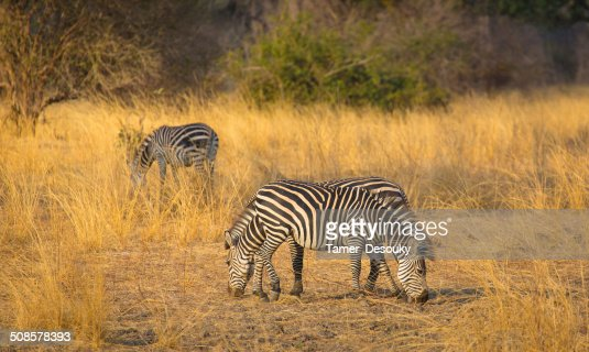 herd of zebras : Stockfoto
