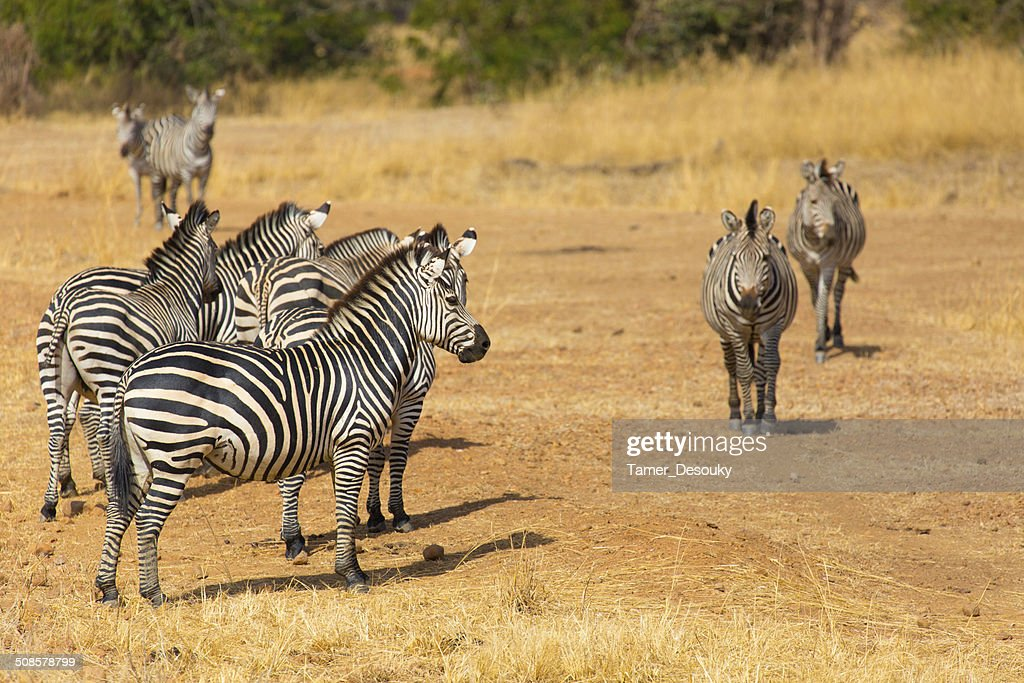 herd of zebras : Stock Photo