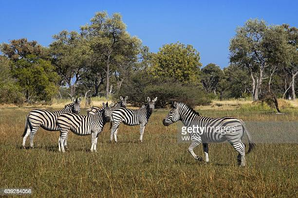 A herd of zebras prowling near Camp Eagle Island Camp by Orient Expressoutside the Moremi Game Reserve in Botswana Chobe National Park One of the...