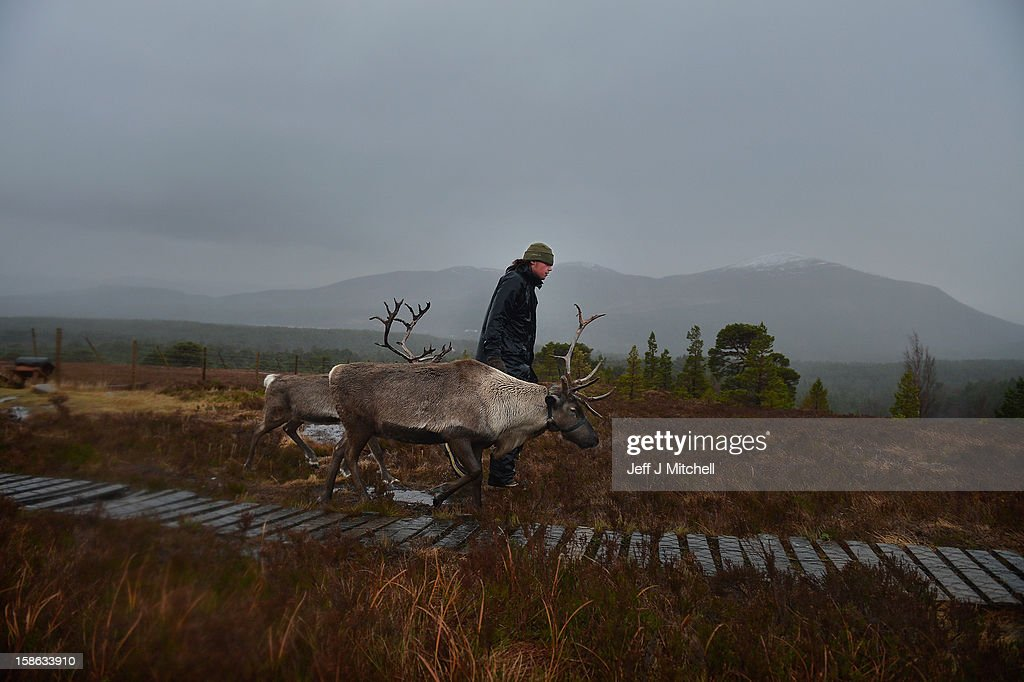 Herder Zac Brown walks with reindeer from the Cairgorm Herd on December 22, 2012 in Aviemore, Scotland. Reindeer were introduced to Scotland in 1952 by Swedish Sami reindeer herder, Mikel Utsi. Starting with just a few reindeer; the herd has now grown in numbers over the years and is currently at about 130 by controlling the breeding. The herd rages on 2,500 hectares of hill ground between 450 and 1,309 meters and stay above the tree line all year round regardless of the weather conditions.
