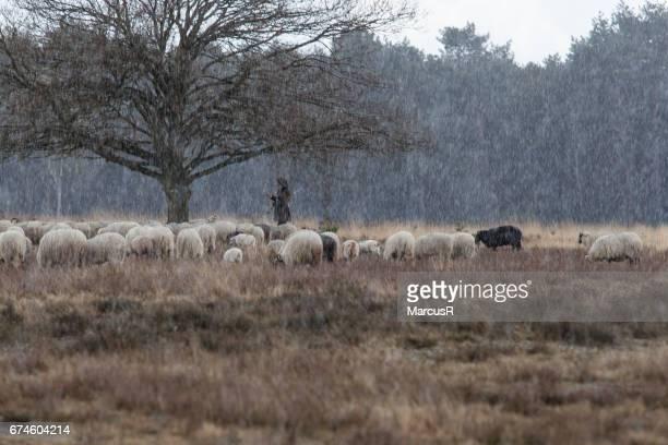 Herderin en schapen schuilen