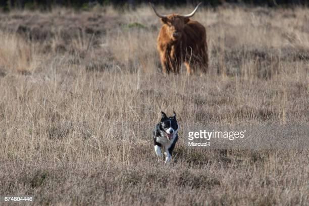 Herdershond ontmoet hooglander