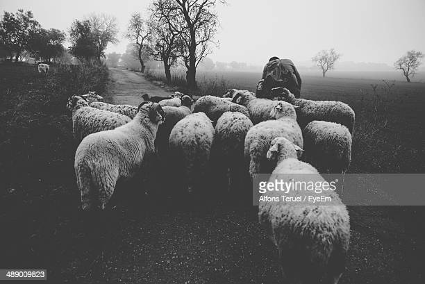 Herding sheep in the morning on country landscape