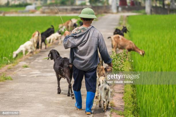 A herdsman, in Ninh Binh province (vietnam)