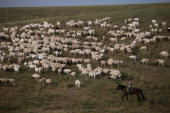 A herdsman pastures sheep on August 8 2006 in Xilinhot of Inner Mongolia Autonomous Region China Xilinhot located in the middle of Xilin Gol...
