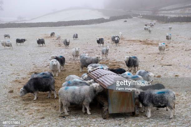 Herdwick sheep feeding from hay rack in winter conditions Keswick English Lake District