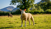 Taken in full view of Catbells in The Lake District, Cumbria this sheep couldnt be in a more picturesque place.