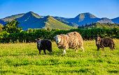 Herdwick sheep in The Lake District, Cumbria, England