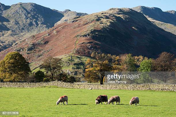Herdwick sheep in the Langdale Valley, Cumbria, UK.