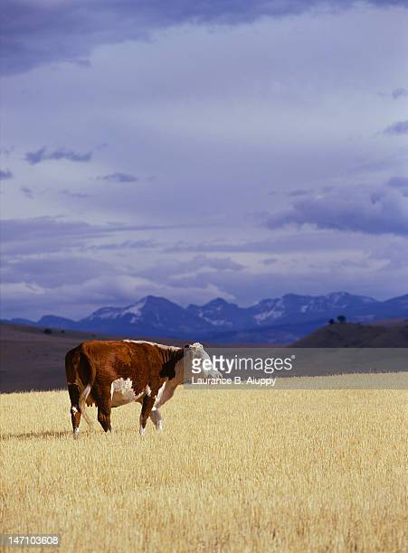 Hereford beef cow in wheat stubble field, Montana