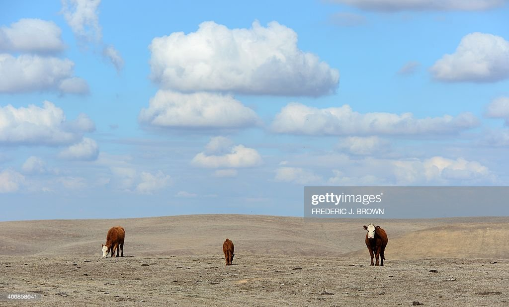 Hereford cattle roam the dirtbrown fields of Nathan Carver's ranch which his family has owned for five generations on the outskirts of Delano in...