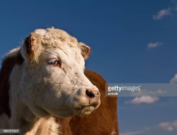 Hereford Cow and Blue Sky