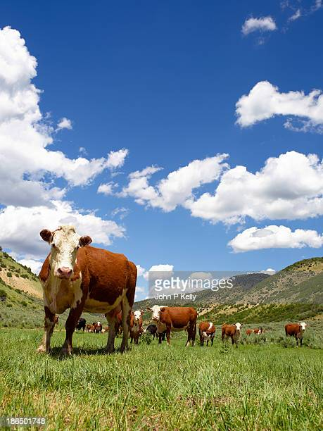 Hereford cows in high pasture