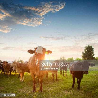 Hereford Cows in Pasture at Sunset : Stock Photo