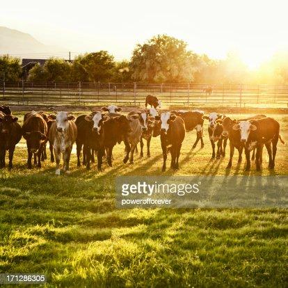 Hereford mucche al pascolo al tramonto