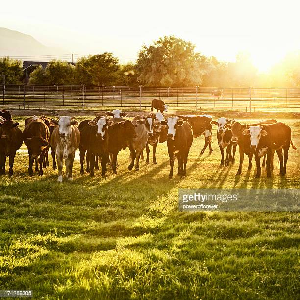 Hereford vaches de pâturage au coucher du soleil