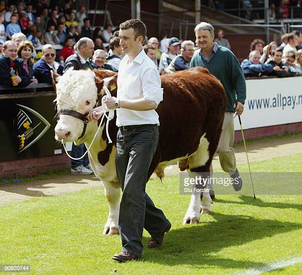 Hereford United bull during the Nationwide Conference play off semi Final second leg between Hereford United and Aldershot Town at Edgar Street on...