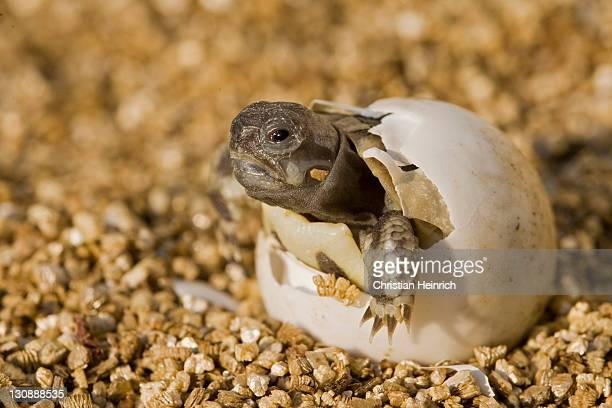 Hermann's Tortoise (Testudo hermanni) hatching out of its egg