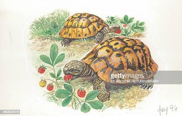 Hermann's tortoises eating illustration