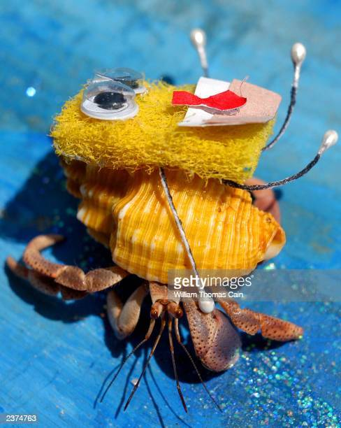 A hermit crab competes as 'Spongebob' during the 28th Annual Miss Crustacean Pageant and Hermit Crab Races August 6 2003 in Ocean City New Jersey...