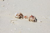 Hermit crab family at the beach, Maldive Islands
