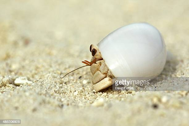 Hermit crab in a shell, Maldives