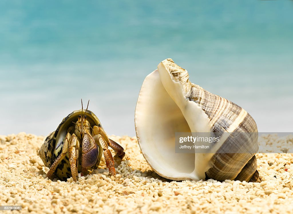 Hermit crab looking at larger shell : Stock Photo