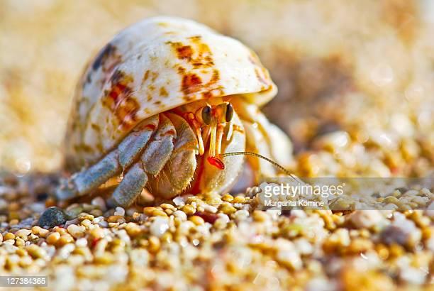 Hermit crab on beach sand