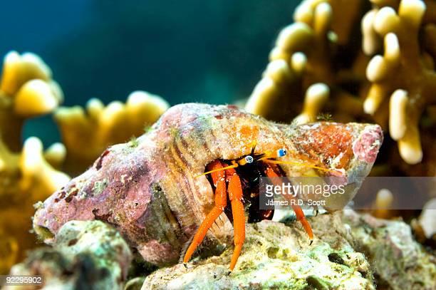 Hermit Crab (Calcinus Morgani)