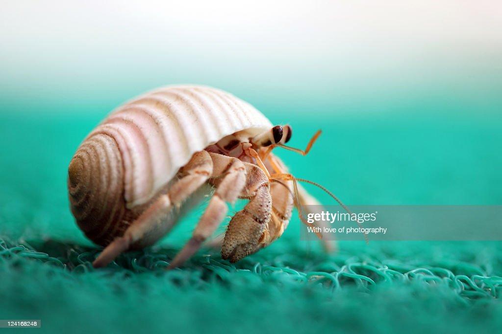 Hermit crab running : Stock Photo