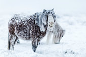 Two wild welsh ponies search for food on the very top of a mountain in the Brecon Beacons National Park, in Wales. They struggle in an arctic snow storm, their coats have turned to ice and they look u