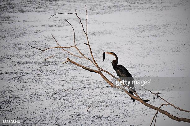 Heron eating a fish in Ranthambore National Park