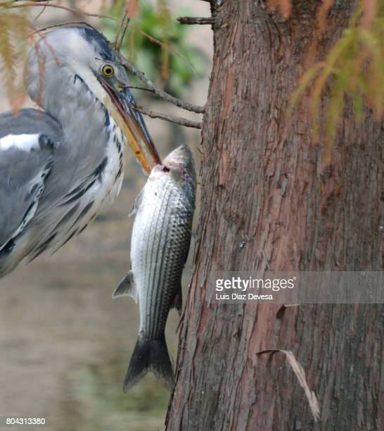 Heron eating at river