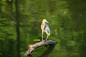 Heron sitting on branch for hunting