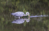 A heron prowling through the lake at Adel Dam on the hunt for Fish. Taken from the lake hide at Adel Dam, West Yorkshire. UK.