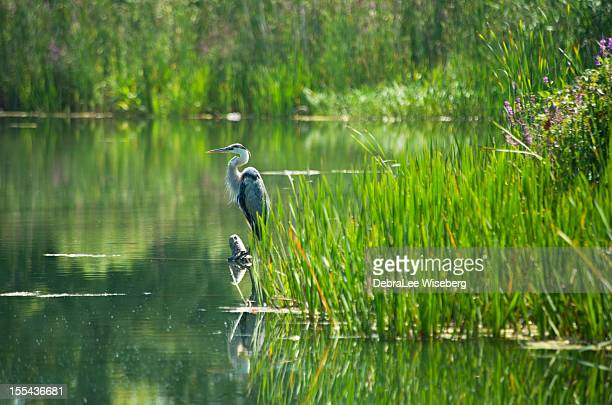 Heron Perched in the Pond