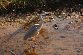 A heron in the stream