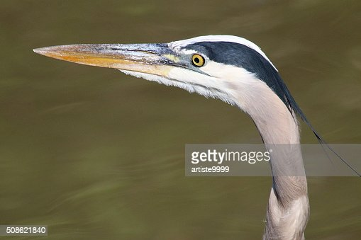Heron, Up Close And Personal : Stock Photo