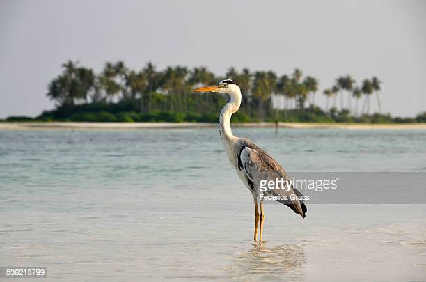 Heron waiting for a Prey in Maldivian Lagoon