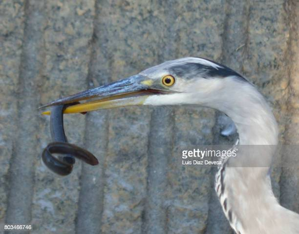 Heron with an eel in its beak.